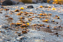 In The Evening Light Autumn Stream With Floating Fallen Yellow Leaves
