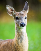 Young Adult White-tailed Deer On A Clover Field During Autumn In Southern Finland