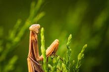 Brown Praying Mantis On Tree. Mantis Religiosa Insect Macro.