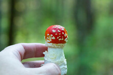 Mushroom Amanita Muscaria, A Red Young Mushroom In A Woman's Hand On A Blurry Background Of An Autumn Forest. Poisonous Forest Mushrooms
