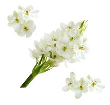 Set Of White Ornithogalum Flowers Isolated