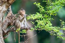 Baby Monkey Sitting On The Tree Eating Food.