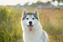 Portrait Of Beautiful And Happy Silver Siberian Husky Dog Sitting In The Field At Sunset.