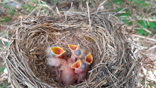Yellow-throated Thrush Chicks In A Nest In A Tree. Open Their Beak And Ask For Food