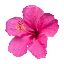 Close-up Of A Beautiful Pink Hibiscus Flower Isolated On White Background.