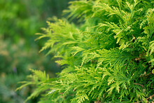 Evergreen Background, Fresh Summer Cypress Leaves . Green Leaves Background.Texture Of Pine Branch. Conifer Cedar Thuja Leaf Green Texture. Fresh Green Christmas Leaves, Branches Of Pine Trees