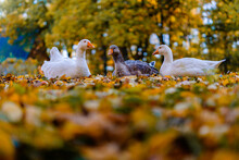 Group Of White And Brown Geese Sitting On Colorful Autumn Leaves. Low Angle View, Close-up, Copy Space.