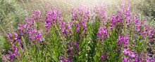 Morning Summer Meadows With The Beautiful Pink Wildflowers In The Sunrise. Flowers Backgorund.