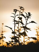 Raps (Brassica Napus), Blüte, Pflanze, Sonnenaufgang