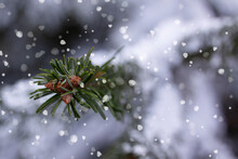 Green Fir Pine Branch With Small Cones Covered Frost In Snowy Weather. Snow Weather Or Christmas Background. Close Up With Selective Focus And Shallow Depth Of Field.