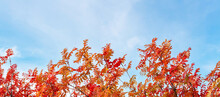 Bright Red-orange Autumn Leaves Of Rowan On The Background Of The Sky. Autumn Background Banner.