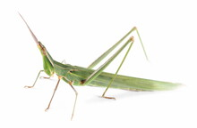 Green Grasshopper Acrida Ungarica, Cone-headed Or Nosed Grasshopper And Mediterranean Slant-faced Isolated On White Background, Macro