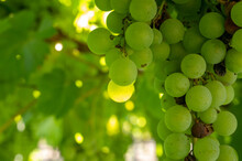 Bunches Of White Wine Muscat Grapes Ripening On Vineyards Near Terracina, Lazio, Italy