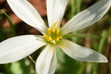 White Rain Lily Flowers. Amaryllidaceae Bulbous Plats. Flowering Time Is From July To September.
