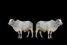 Two Cows On A Black Background