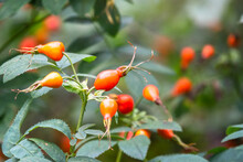 Autumn Or Summer Nature Background With Rose Hips Branches In The Sunset Light. The Rose Hip Or Rosehip, Also Called Rose Haw