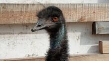 Portrait Of Australian Emu Bird Dromaius Novaehollandiae. Close-Up Of An Australian Emu