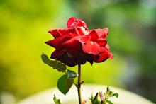 バラ園に咲く少し枯れ初めの赤いバラの花