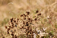 Thorny Weed In The Meadow In Autumn