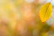 Grabowy jesienny żółty, pomarańczowy liść na tle rozświetlonego promieniami jesiennego lasu.