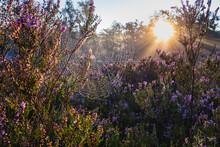 Rising Sun Illuminating Spider Web Hanging Between Flowering Heather In Fischbeker Heide Reserve