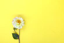 White Single Dahlia Flower On Yellow Background. Copyspace.