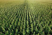 Rows Of Corn Plants Growing On A Farm Field In A Rural Area