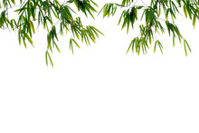 Bamboo Green Leaves Isolated On White Background With Clipping Path.