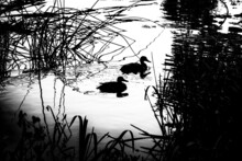 Two  Mallard Ducks Swimming On The Water Two Mallard Ducks Silhouettes Swimming On The Water, With Blurred Rushes In The Foreground