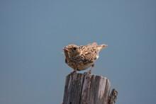 Woodlark (Lullula Arborea) Perched On A Pine Stump