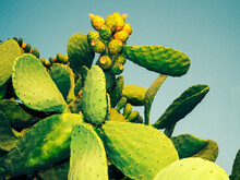 Close-up Of A Prickly Pear Cactus Against A Blue Sky, Italy