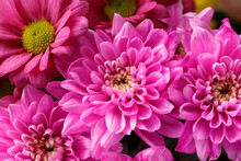 Pink Blooms Of Chrysanthemum Flowers In Bouquet Autumn, Floral Wallpaper Background