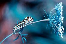 Macro Shots, Beautiful Nature Scene. Close Up Beautiful Caterpillar Of Butterfly.
