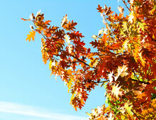 Oak Branch With Red Leaves On The Background Of Blue Sky, Autumn