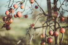 Apples Growing On An Apple Tree In An Orchard, Spain