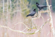 Magnificent Black Crows Living In The Wild In The Forests Of Belarus