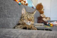 Lazy Marbe Domestic Cat On Gray Sofa, Eye Contact, Cute Lime Eyes On Tabby Face