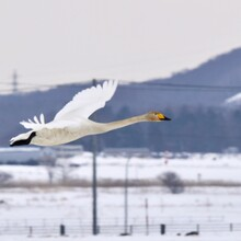 Snowy Egret In Snow