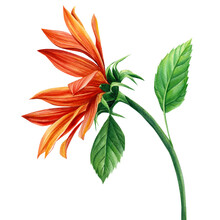 Red Sunflower, Flower On An Isolated White Background, Watercolor Illustration, Autumn Flora