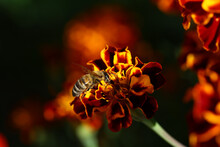 A Bee On A Red-yellow Autumn Marigold On A Blurred Background