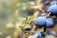 Ripe Blue Plum On A Branch With Yellow Leaves
