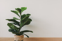 Green House Fiddle Fig Plant On White Wall Background.