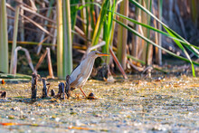 Little Bittern Standing In The Water And Looking For Food