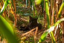 Resting Black Cat In A Corn Field