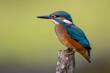 canvas print picture - Eisvogel (Alcedo atthis) Jungvogel