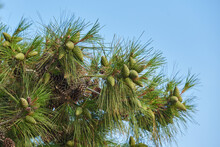 Pine Branch With Long Needles And Cones Against Blue Sky