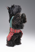 Playful Scotch Terrier Dog Standing On Its Hind Legs