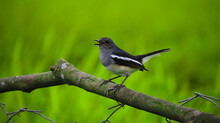 Beautiful With An Oriental Magpie Robin Nature