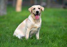 Un Cachorro De Perro Labrador En Un Campo Verde