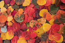 Autumnal Aspen Leaves On The Forest Floor